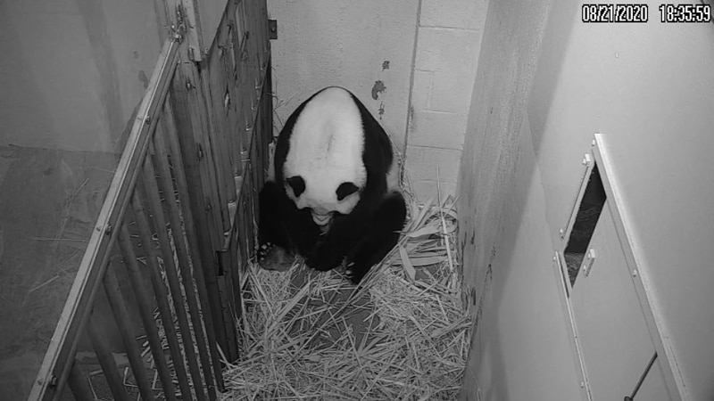 Venerable giant panda matriach Mei Xiang gave birth Friday to a baby cub and immediately began...