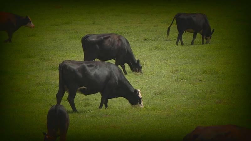 Cattle grazing in a field in Morgan County, Kentucky.