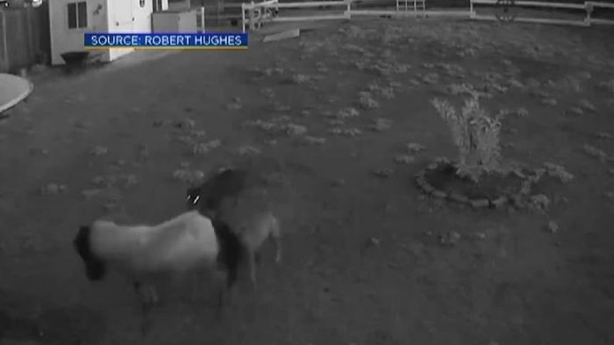 A California couple says two stray dogs attacked and killed their miniature horses. (Source: KOVR/CNN)
