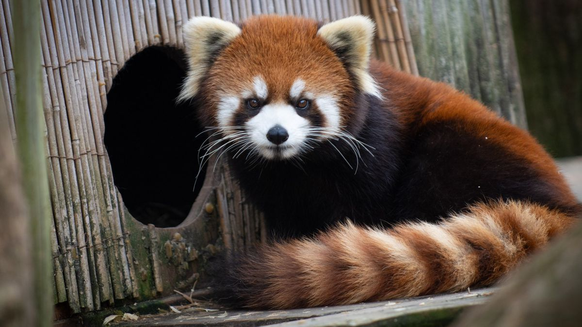 A red panda is missing at the Columbus Zoo.