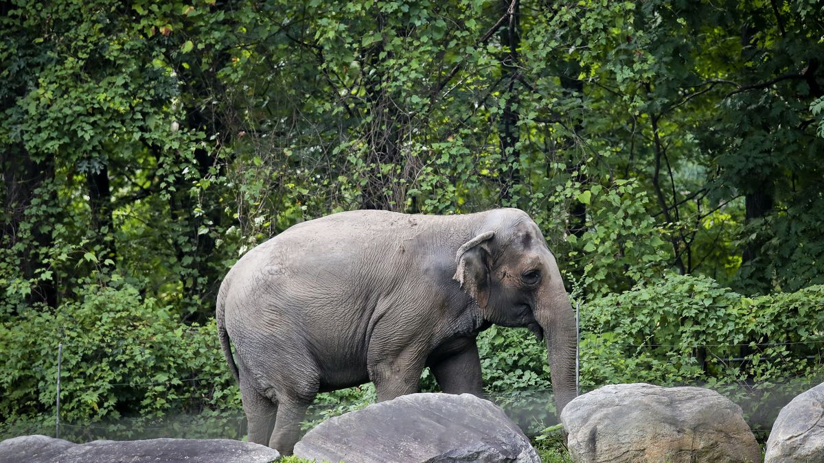 "FILE - In this Oct. 2, 2018 file photo, Bronx Zoo elephant ""Happy"" strolls inside the zoo's Asia Habitat in New York. On Tueday, Feb. 18, 2020, Bronx Judge Allison Tuitt dismissed the Nonhuman Rights Project's petition to have the elephant declared to have human-like rights and transferred to a sanctuary. They argued at that Happy is ""unlawfully imprisoned"" at the zoo where she has lived since 1977. She has been kept separate from other elephants for more than a decade. (AP Photo/Bebeto Matthews, File)"