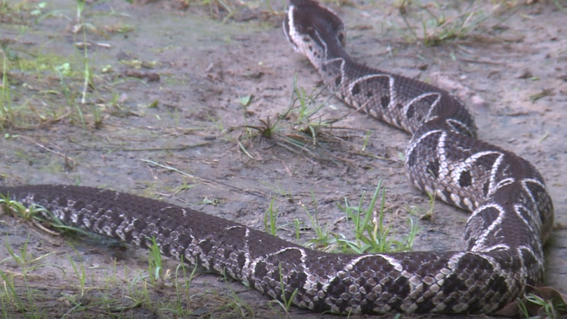 The Jararacacussu is one of the largest venomous snakes in South America, and this small snake...