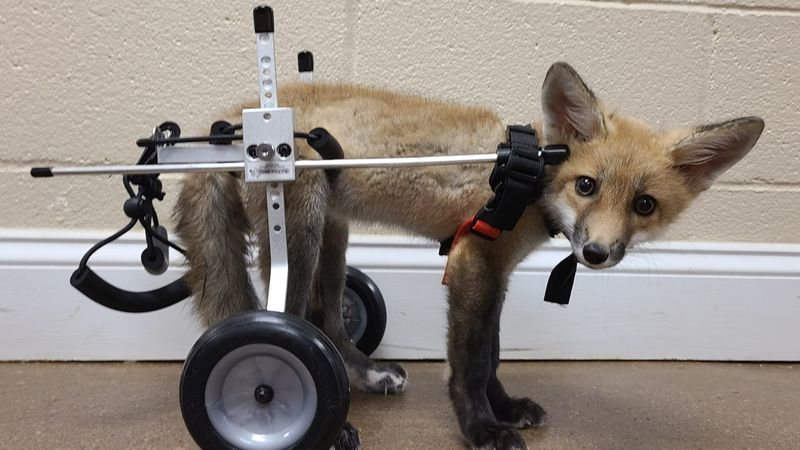 One little fox has been gaining a lot of attention on social media, for one very unique reason....