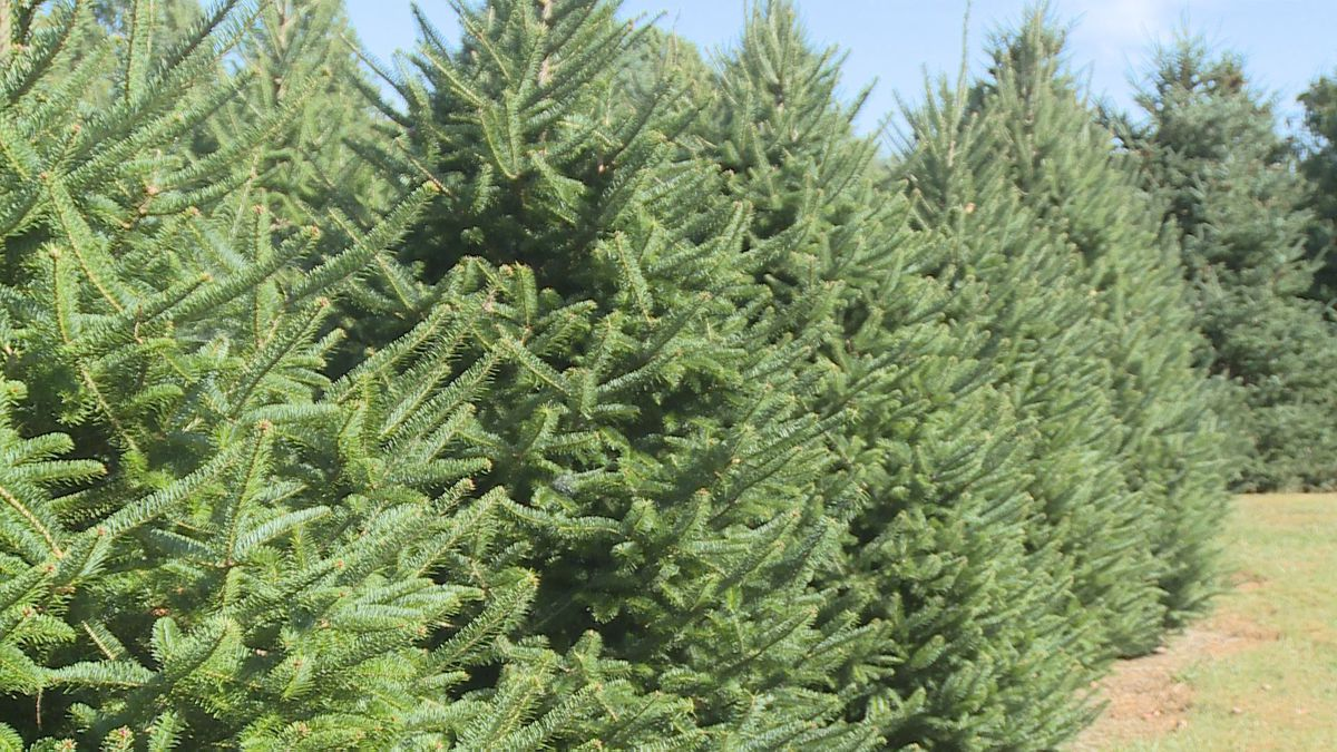 Christmas trees for the upcoming holiday season are doing fine, despite the dry weather, at Nieman Tree Farm.
