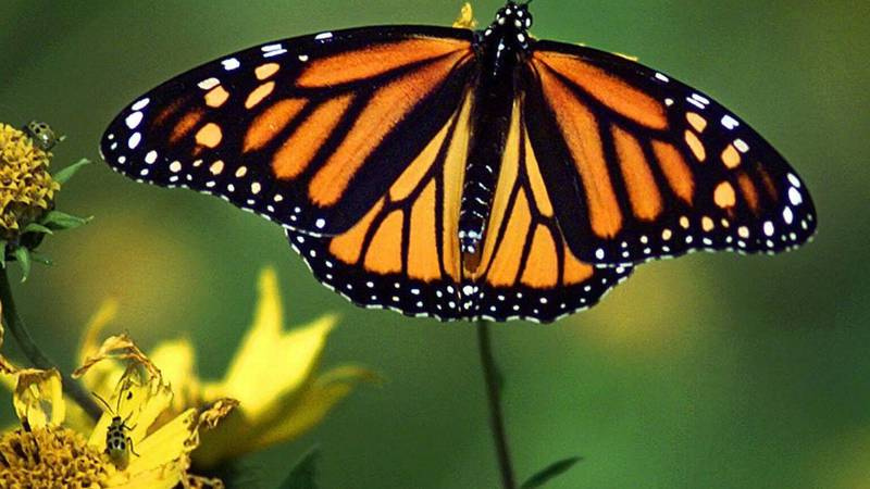 Monarch butterfly populations are declining. (File image)