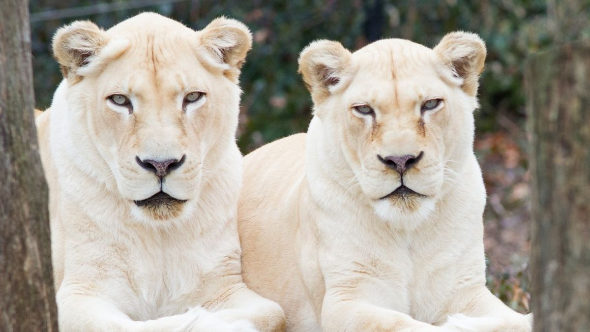 Prosperity (right) had to be put down for age-related issues. She was 22 years old. (Cincinnati Zoo & Botanical Garden)