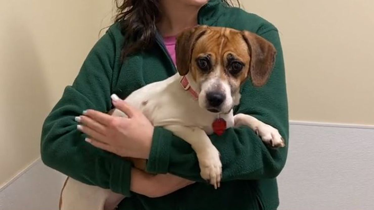 Adopt Love Pippy Longstocking Beagle Dachshund Mix Mar 18 2020