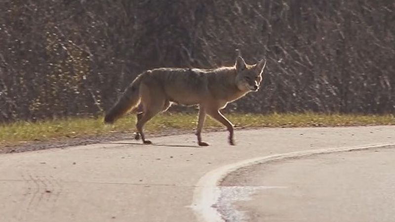 More coyote spottings are being reported during the animals' breeding season.