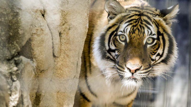 Three year old Malayan tiger Arya arrived at Zoo Knoxville Thursday, Jan. 26 2017. Arya was...